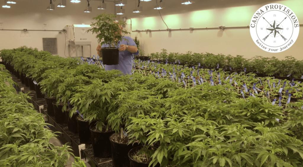 canna provisions director of cultivation greg chemdog krzanowski sheffield chemdawg chem91 strains